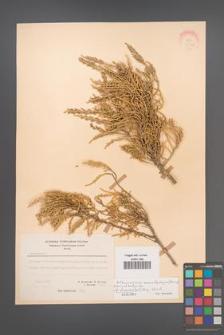 Arthrocnemum macrostachyum [KOR 21148]