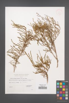 Arthrocnemum perenne [KOR 32475]