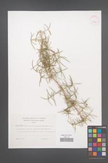 Asparagus [KOR 41325]