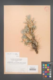 Astragalus micropterus [KOR 30902]