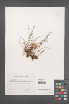 Astragalus cephalotes [KOR 30923]