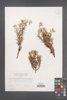 Astragalus sempervirens [KOR 25339]