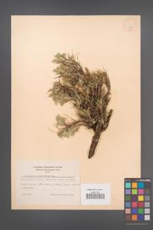 Astragalus sempervirens [KOR 11990]