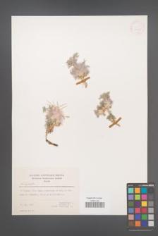 Astragalus [KOR 30925]