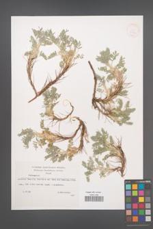 Astragalus [KOR 32902]