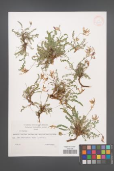 Astragalus [KOR 32903]