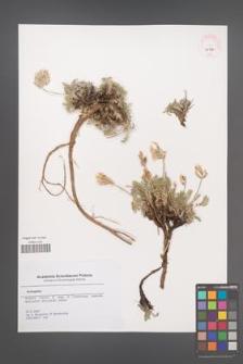 Astragalus [KOR 45710]