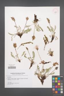 Astragalus [KOR 45711]