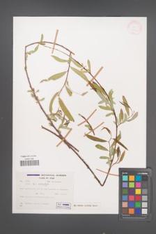 Salix acmophylla [KOR 27756]
