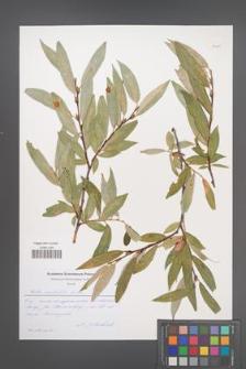 Salix acutifolia [KOR 51185]