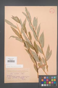 Salix acutifolia [KOR 23904]