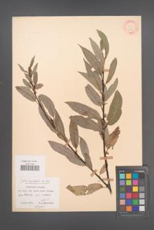 Salix acutifolia [KOR 18754]