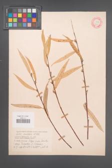 Salix acutifolia [KOR 18759]