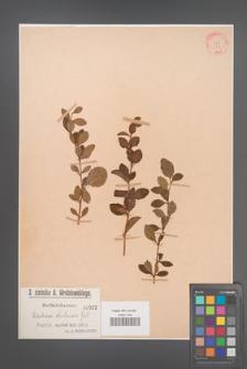 Berberis chilensis [KOR 522]
