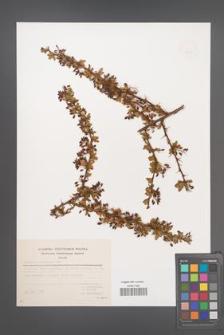 Berberis crataegina [KOR 49297]