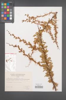 Berberis crataegina [KOR 49296]