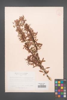 Berberis crataegina [KOR 12021]