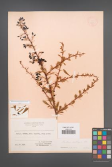 Berberis crataegina [KOR 12011]