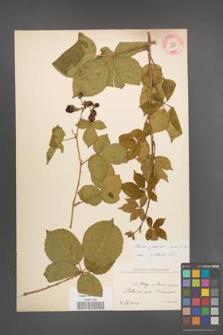 Rubus plicatus [KOR 10894]
