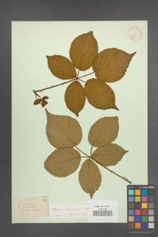 Rubus plicatus [KOR 10907]
