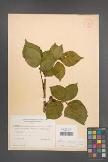 Rubus plicatus [KOR 8716]