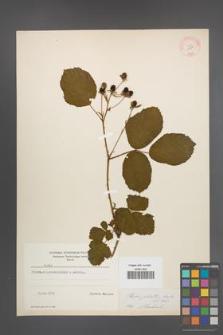 Rubus plicatus [KOR 10911]