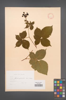 Rubus plicatus [KOR 10635]