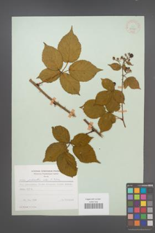 Rubus plicatus [KOR 30595]