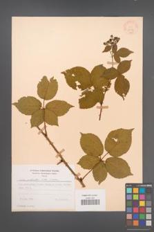 Rubus plicatus [KOR 30593]