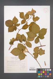 Rubus plicatus [KOR 43104]