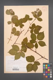 Rubus plicatus [KOR 30585]
