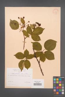 Rubus plicatus [KOR 30590]