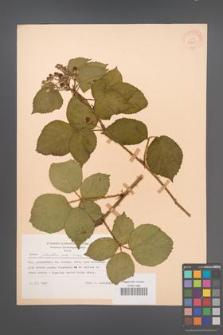 Rubus plicatus [KOR 30605]