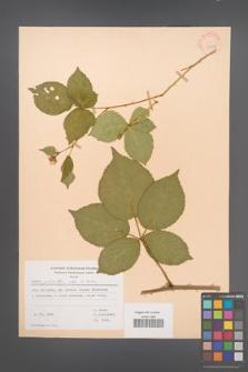 Rubus plicatus [KOR 30592]