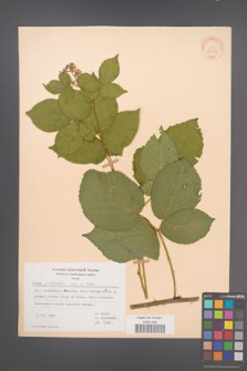 Rubus plicatus [KOR 30596]