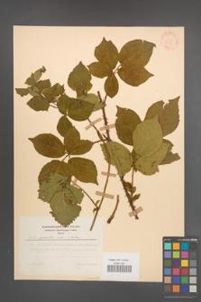 Rubus plicatus [KOR 30675]