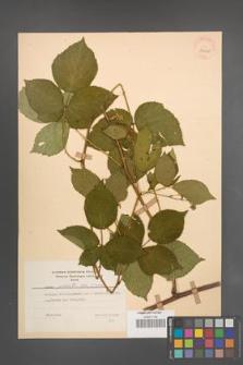 Rubus plicatus [KOR 30010]