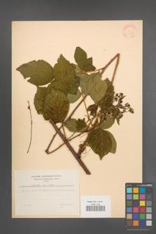 Rubus plicatus [KOR 30674]