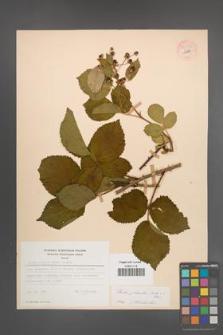 Rubus plicatus [KOR 54233]