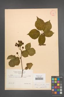 Rubus plicatus [KOR 8660]