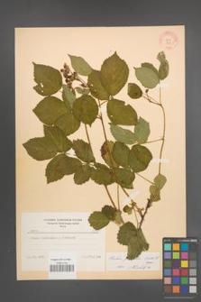 Rubus plicatus [KOR 8654]