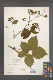 Rubus plicatus [KOR 54234]