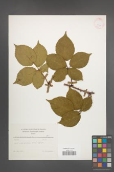 Rubus plicatus [KOR 25620]