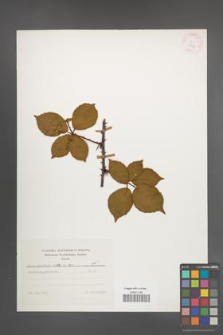 Rubus plicatus [KOR 25637]