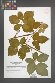Rubus plicatus [KOR 42361]