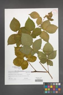 Rubus plicatus [KOR 42190]