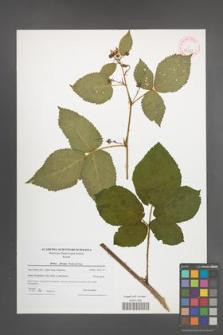 Rubus plicatus [KOR 42358]
