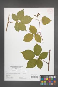 Rubus plicatus [KOR 43975]