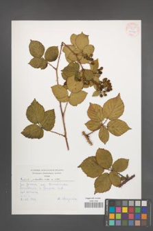 Rubus plicatus [KOR 54247]