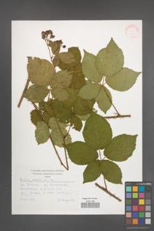 Rubus plicatus [KOR 30507]